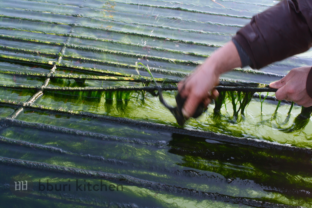 maesaengi seaweed harvest